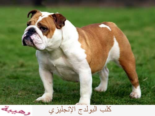 كلب البولدج الإنجليزي