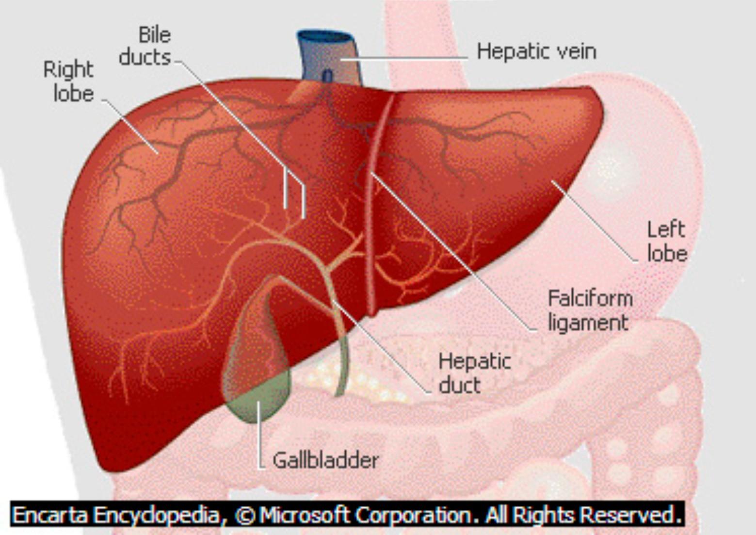 referensi penyakit info tentang organ hati