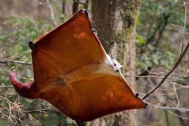 उड़न-गिलहरी की फोटो