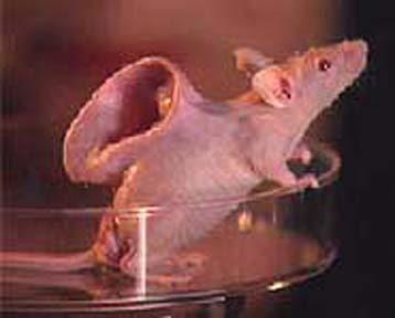 Tikus Telinga Vacanti