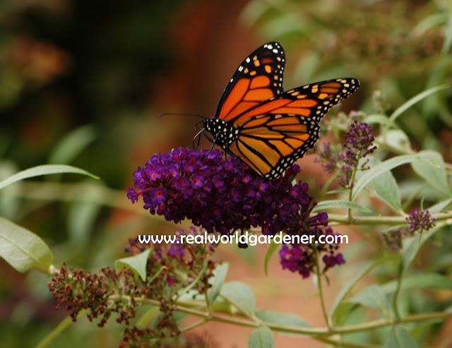 1-Monarch_3.jpg