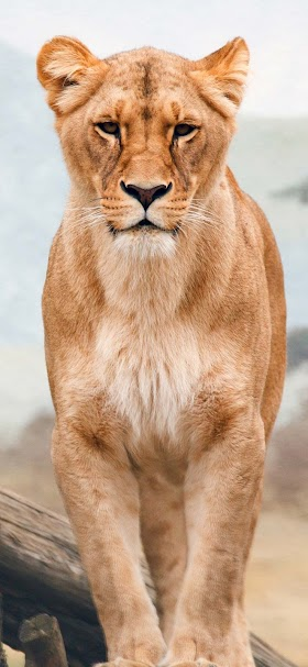 African lion wallpaper
