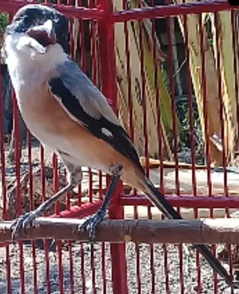 Cara Jitu Merawat Pentet Atau Cendet Cepat Gacor Zona Burung
