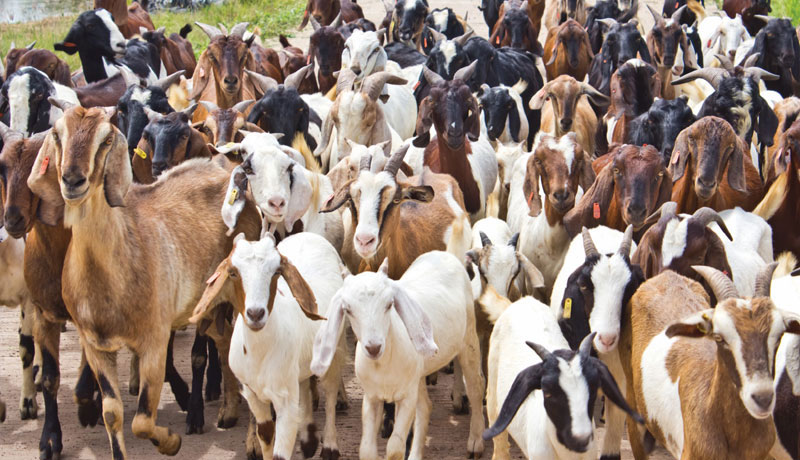 goat rearing project proposal