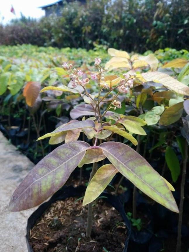 Bibit Tanaman Buah Kelengkeng Merah biji kecil Tanjungbalai