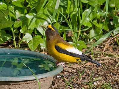 Photo of Evening Grosbeak on water dish