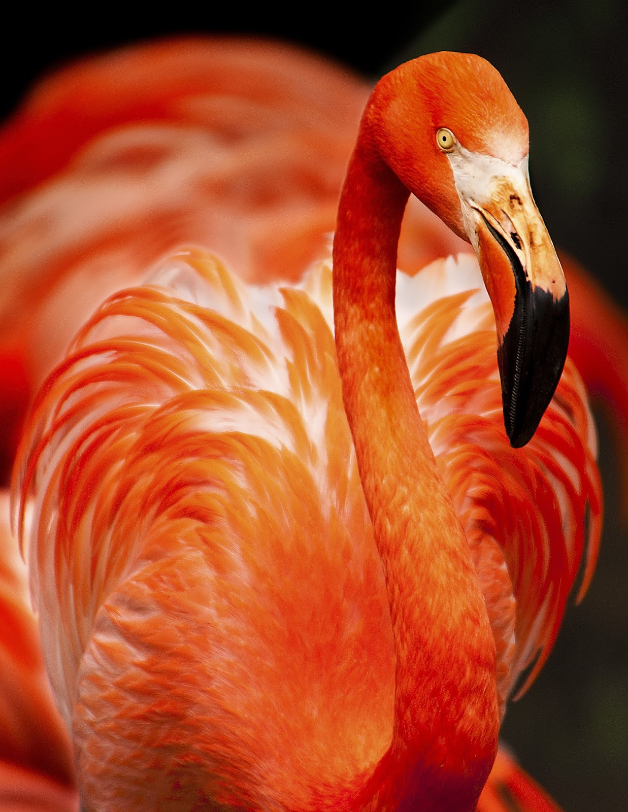 Picture of a beautiful flamingo.