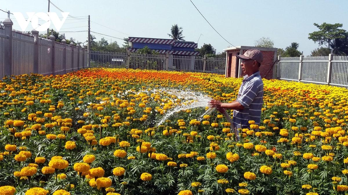 Tết cổ truyền năm ngoái, nông dân huyện Chợ Lách, tỉnh Bến Tre bội thu mùa hoa Tết.
