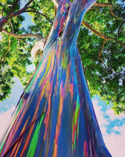 දේදුනු යුකැලිප්ටස් ගස 🌈✍️📚💐 (Rainbow Eucalyptus Tree) - Your Choice Way