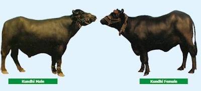Kundhi Buffalo Breed Characteristics