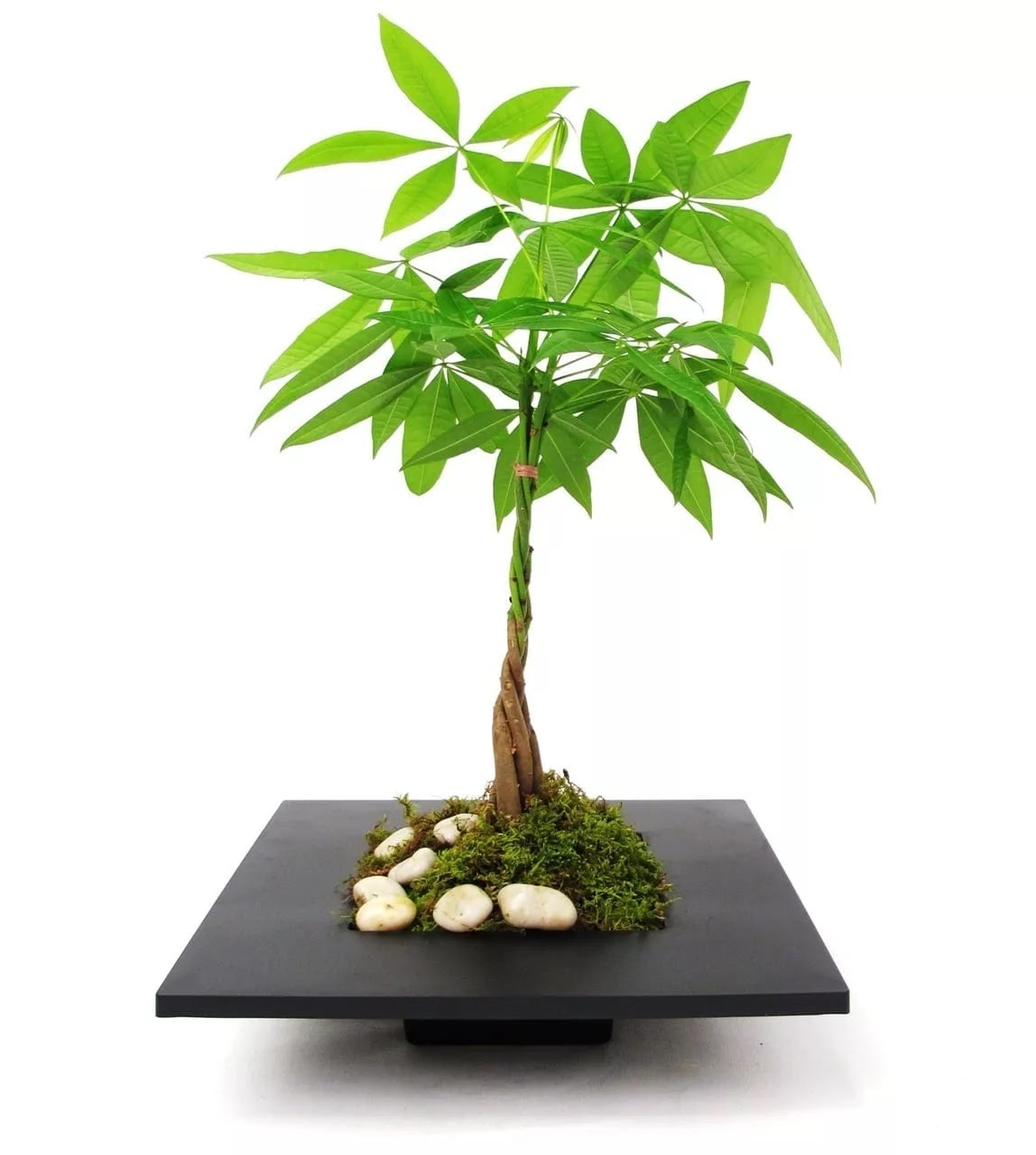 Which Bonsai Trees Are Safe For Cats