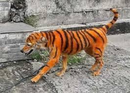 النمر المزيف الذي اثار الذعر في شوارع ماليزيا رسام يحول كلب الى نمر - موقع عناكب الاخباري