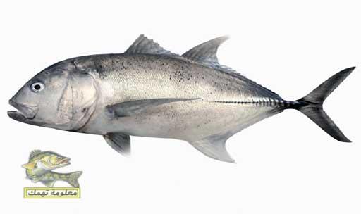 أنواع السمك في البحر الأحمر _ سمك جرم البياض