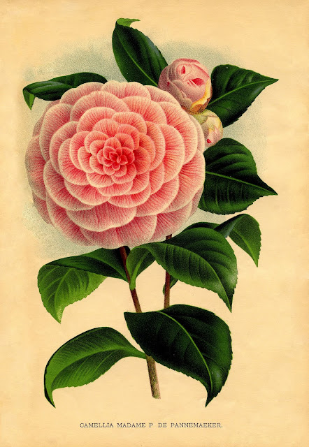 pink camellia drawing