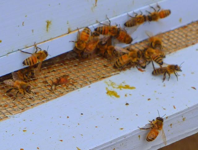 Honey Bees, Edible Forest Garden, RI