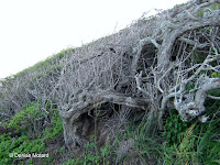 Stunted, shrunk wind-swept trees on windward side - Makapu'u Point Lighthouse trail, Oahu, HI
