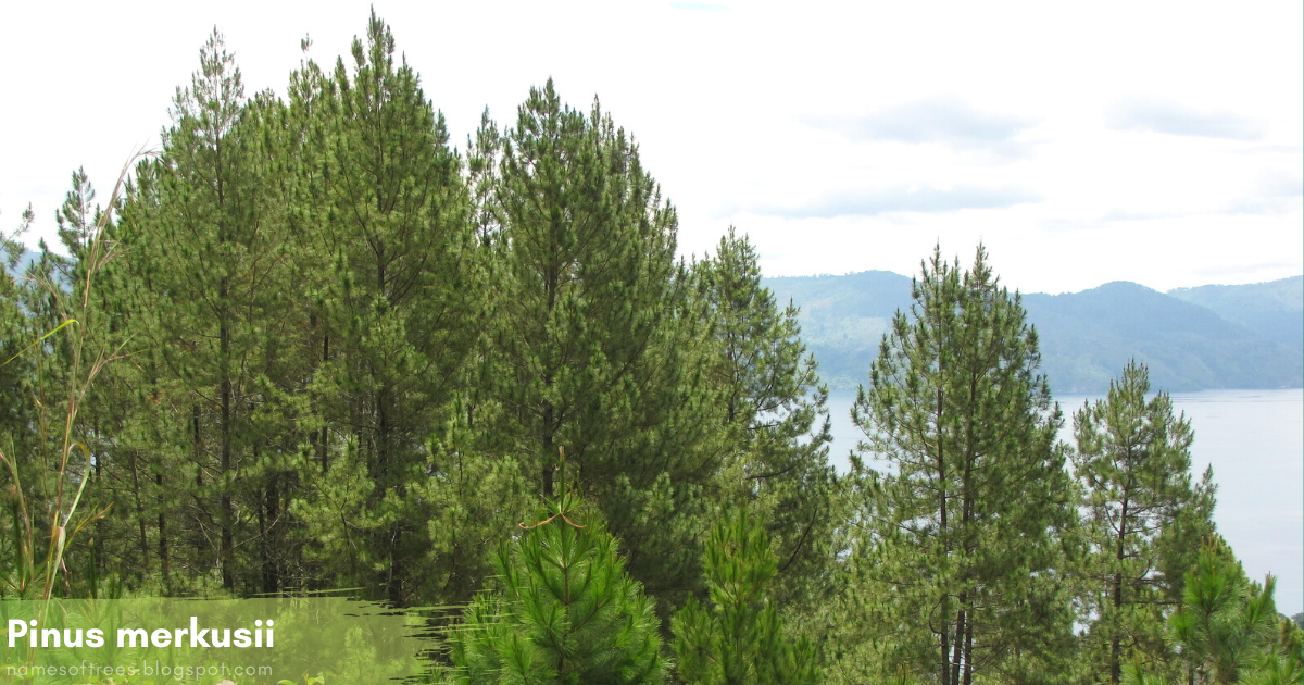 Collectively known as softwood trees, some have strong, tough wood while other conifer wood is soft and less fibrous. List Of Coniferous Trees In Tropical Climates Names Of Trees