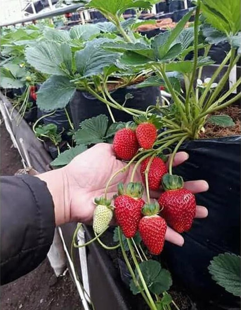 Bibit strawberry jumbo Jawa Barat