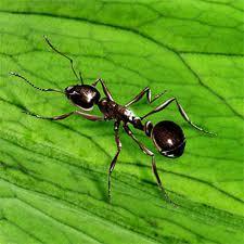 Las Hormigas No Tienen Pulmones