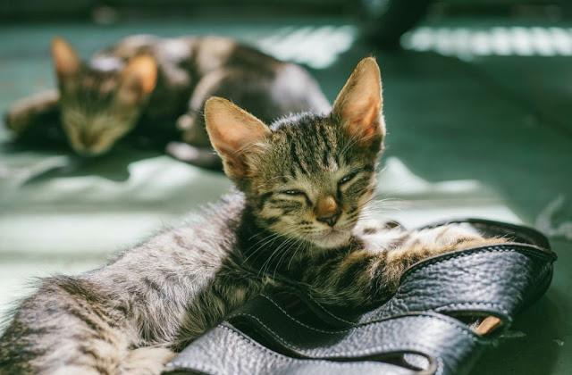 Infeksi Virus pada Kucing dan Cara Penyembuhannya
