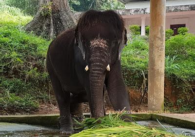 Baby Elephant from keralas elephant training camp in Konni Pathanamthitta