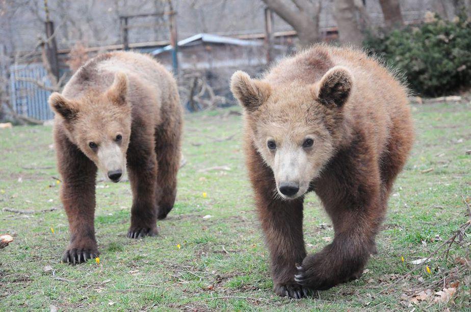 Πάνω από 450 αρκούδες ζουν στην Ελλάδα, ο πληθυσμός ανακάμπτει