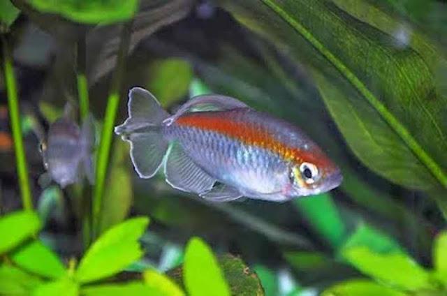 Ciri Ciri Ikan Congo Tetra