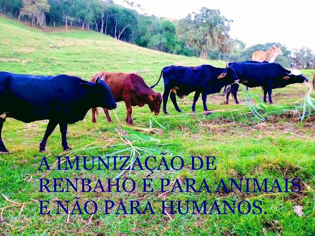 Foto mostra o gado pastando e diz: a imunização de rebanho é para animais e não para humanos.