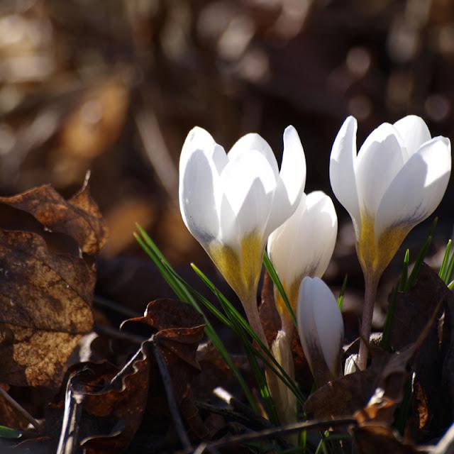 Hvide krokus i marts