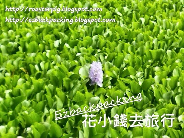 香港鳳眼藍2021