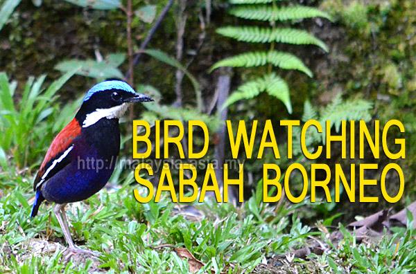 Sabah Bird Watching