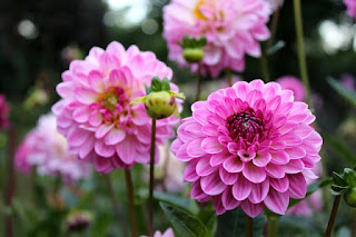 Bunga Dahlia pink