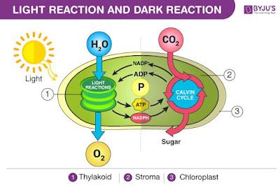 Ilustrasi Reaksi terang dan gelap