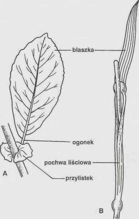 Biologia Ogolna Liscie Roslin