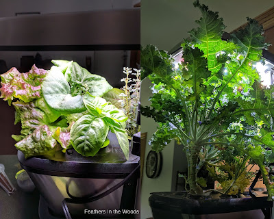 Kale, lettuce and herbs growing in Aerogarden.