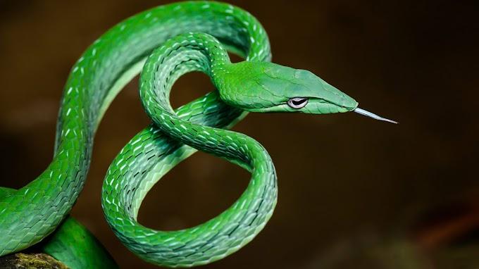 Papel de Parede Cobra Verde