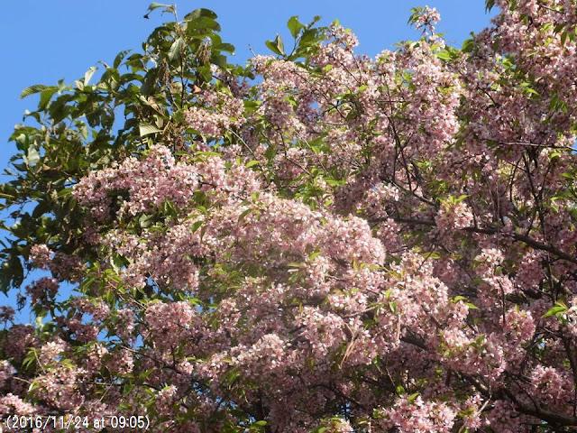 写真19 カトマンズ大学構内の満開のヒマラヤ桜