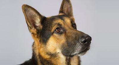 Cachorro morre ao tentar defender dono durante assalto em Ipu