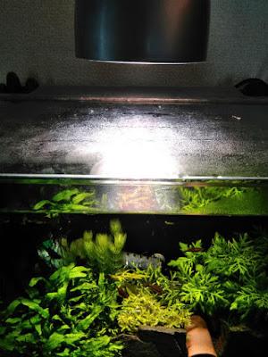IKEA植物育成用LED電球を45cm規格水槽で利用してみる実験(ガラス蓋から10cm)