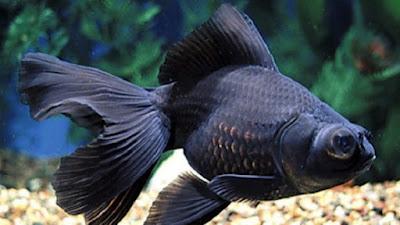 Ikan Mas Koki Black Moor