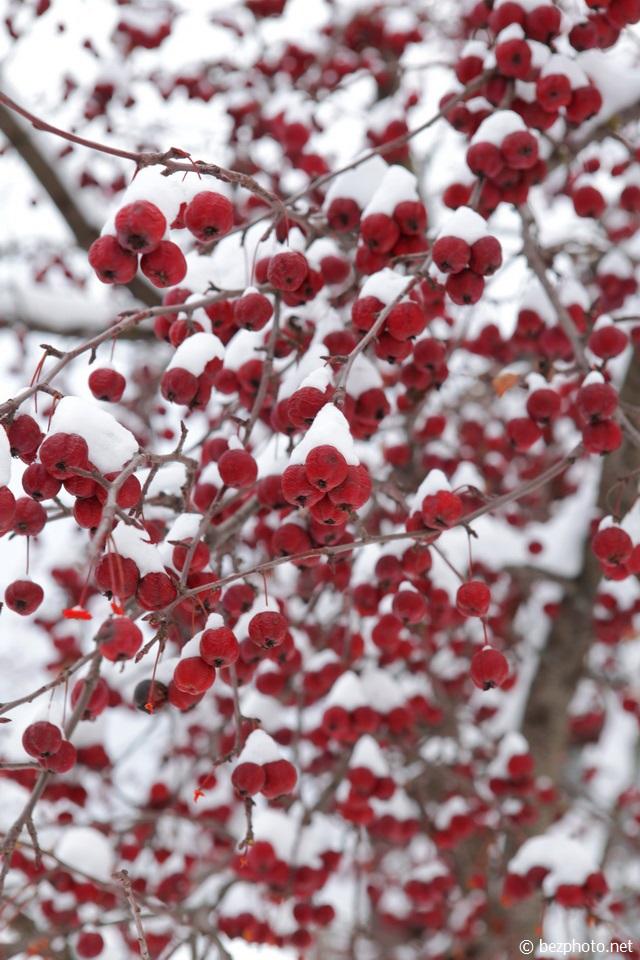 боярышник зимой