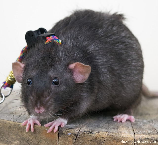 Franklin the Therapy Rat