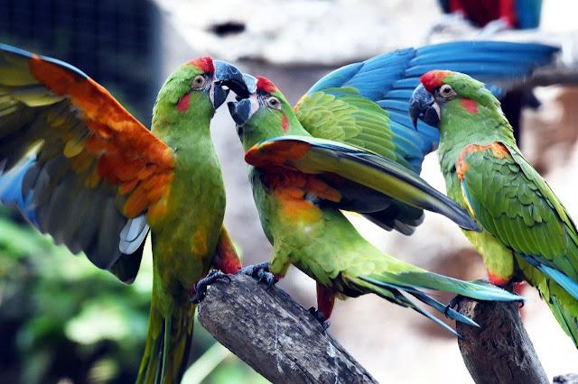 Guacamayo de Cochabamba Ara rubrogenys Red-fronted Macaw Rotohrara