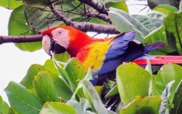 Costa Rica Birds: Scarlet Macaw