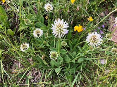[Fabaceae] Trifolium montanum – Mountain Clover (Trifoglio montano).