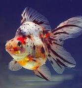 Jenis Ikan Koki Ryukin