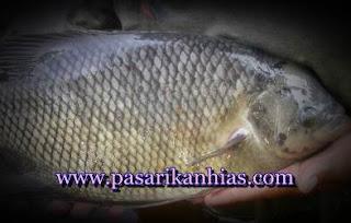 Harga Ikan Gurame Per Kilo Di Pasar Indonesia