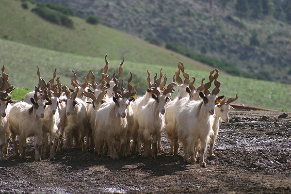Girgentana Goat Images, Milk, Weight, Size, Characteristics, Breed, Price