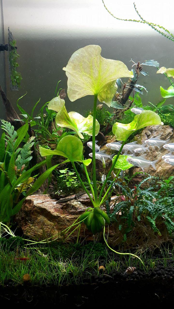 cây trang chuối ra lá rất đẹp trong hồ thủy sinh