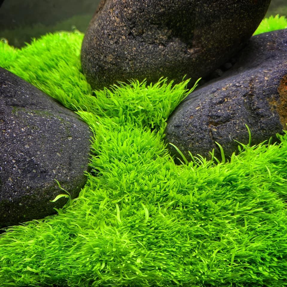 Vẻ đẹp của Cỏ Giấy trong hồ thủy sinh của Tono Dreben